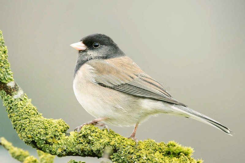 Junco Sparrow royalty free stock photo