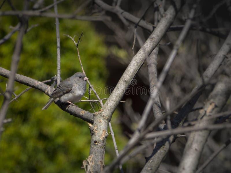 Juncofågel på en filial fotografering för bildbyråer
