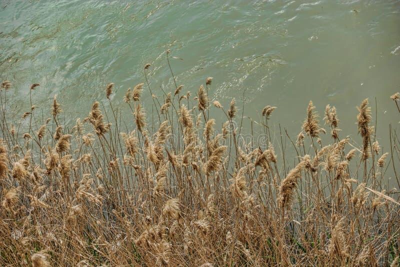 Juncos amarelos crescidos ao lado do rio de cor castanha esverdeado fotos de stock