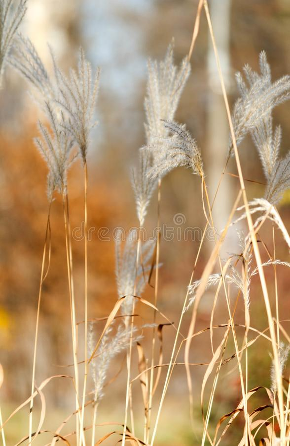 Juncos dos carriços do outono com fundo blury imagens de stock