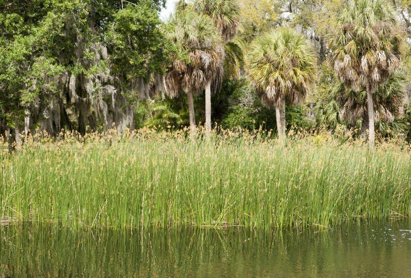 Juncos e palmeiras em Sarasota fotografia de stock