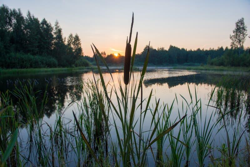 Juncos no lago imagens de stock royalty free