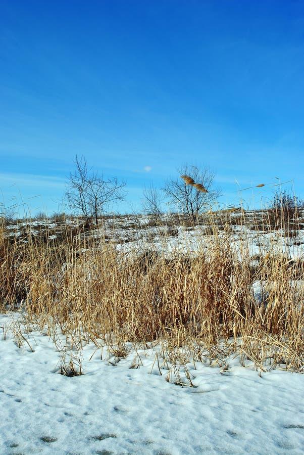Juncos secos amarelos brilhantes no banco de rio com as árvores sem folhas cobertas com a neve, céu azul fotografia de stock
