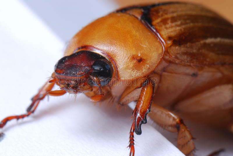 June Beetle European Chafer royalty free stock photography