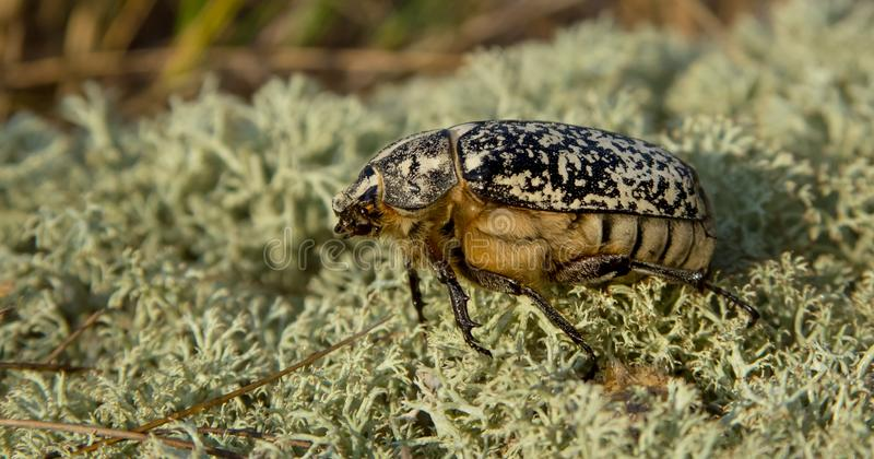 June beetle - Walker - Polyphylla fullo. Late observation at Curonian spit, Lithuania stock photography