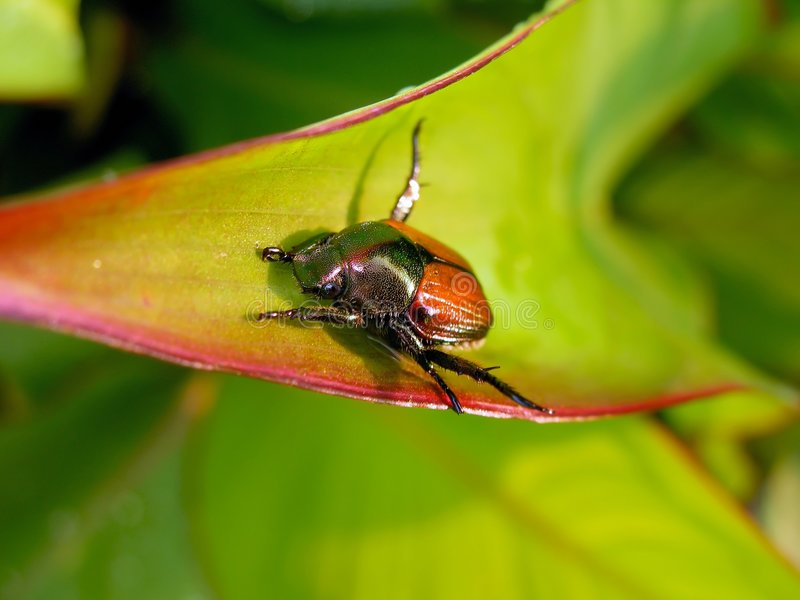 June Bug stock photos