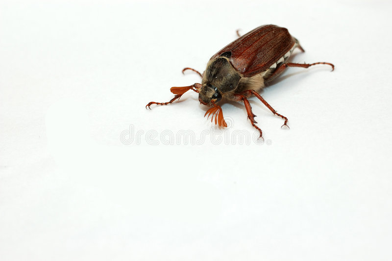 June bug. royalty free stock photo