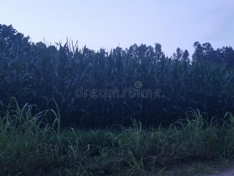 Corn feild. June corn in south knee higher than 4th of July in NY stock photography