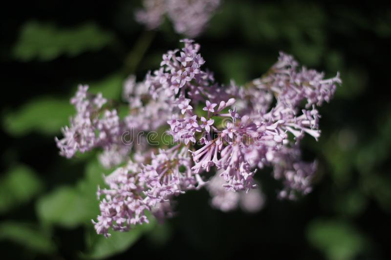 June lilac in the city of St. Petersburg. June lilac on a tree against a background of green leaves in the city of St. Petersburg Russia royalty free stock photography