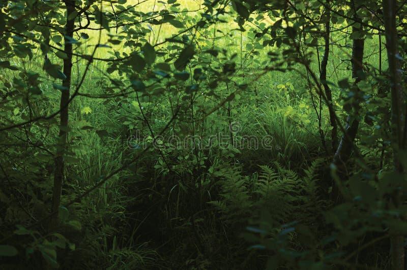 June Meadow Grass, Green Fresh New Ferns, Bushes, Alnus Alder Trees, Wildlife Plants, Horizontal Rural Landscape Summer Season. Vegetation Scenery, Lush Foliage stock photos