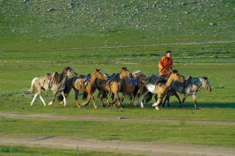 June-2007, Mongolie, cavalier avec un troupeau de chevaux dans la steppe image stock