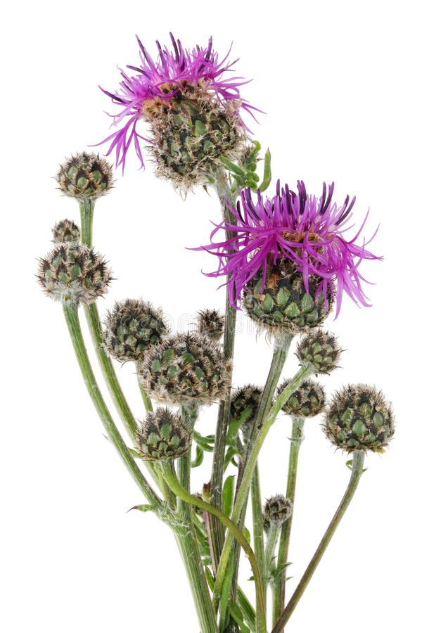 June is the time of flowering and ripening of the classic Scottish thistle plant. stock images