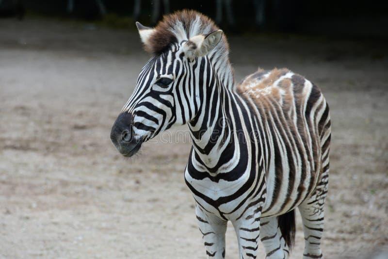 Jung streifte Zebra im Zoo stockfotos