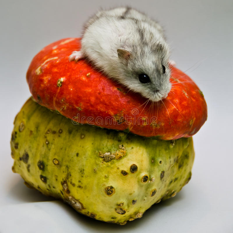 Download Jungar Hamster And Unusual Pumpkin Stock Image - Image of gerbil, animal: 27676037