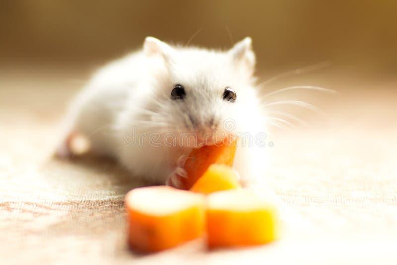 Jungar weinig hamster knaagt aan een wortel stock fotografie