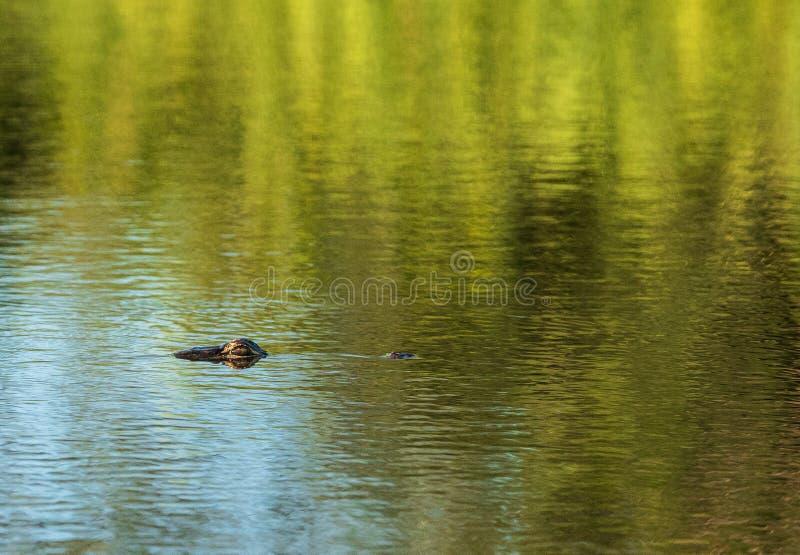 Junge amerikanischer Alligatormississipi-alligator-Augen blicken ou lizenzfreie stockfotografie