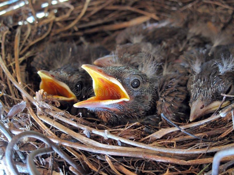 Junge Amseln in ihrem Nest #2 stockfotografie