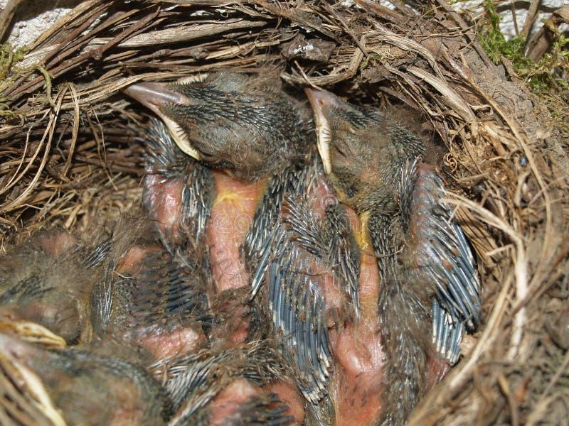 Junge Amseln im Nest lizenzfreies stockfoto