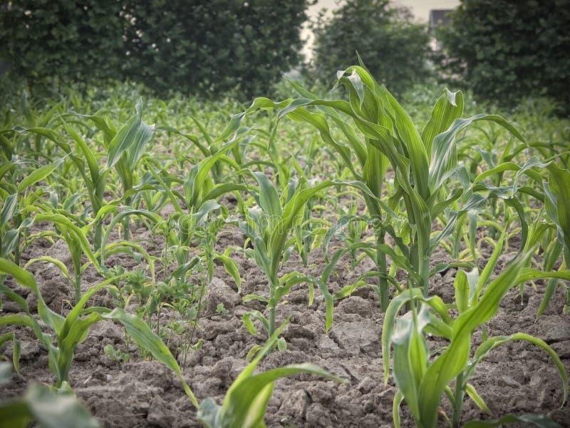 Junge Anlagen auf einem Maisgebiet lizenzfreie stockbilder