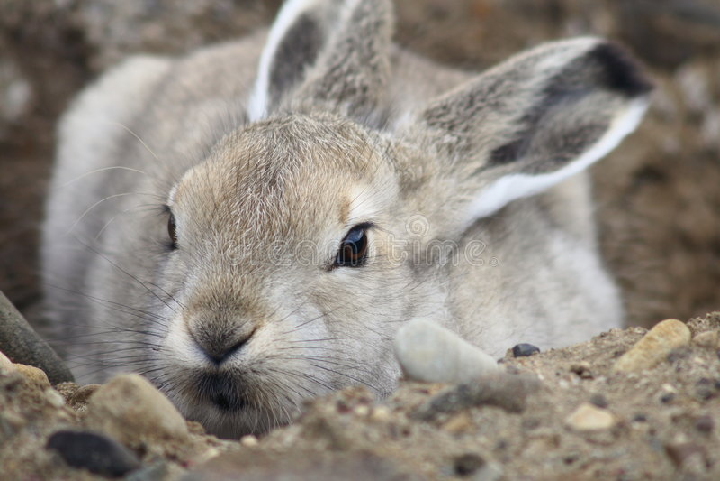 Junge arktische Hasen lizenzfreie stockfotografie