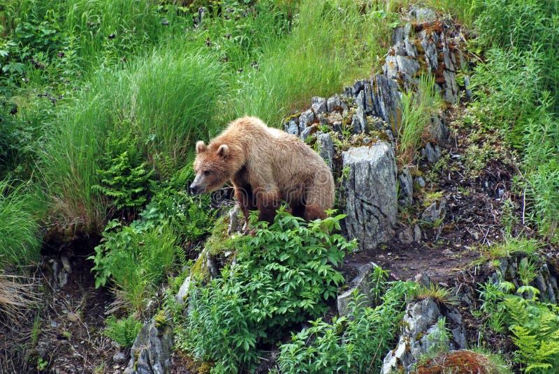 Junge-Bär, der eine Drohung wtching ist lizenzfreie stockfotografie