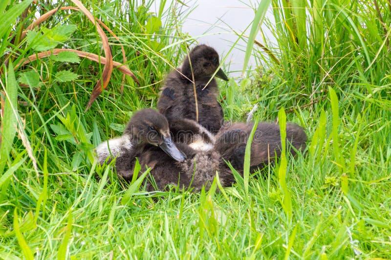 Junge Babyenten im Gras stockbild