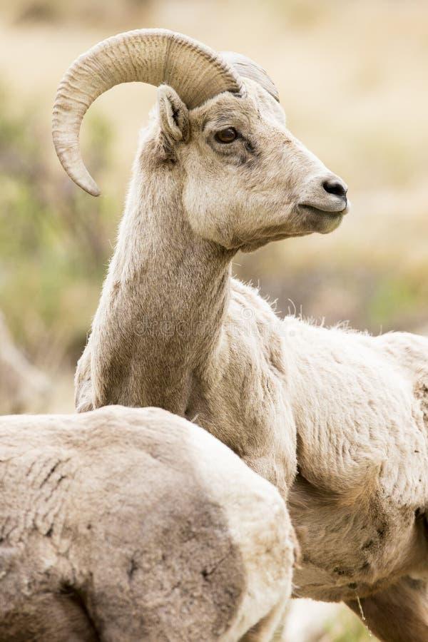 Junge Bighornschafe lizenzfreie stockfotografie