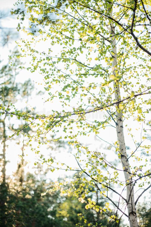 Junge Birke im Wald lizenzfreie stockfotos