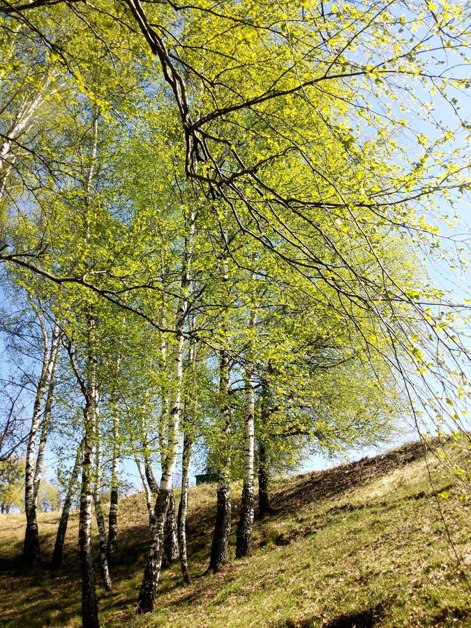 Junge Birken im Frühjahr, können herein stockfotos