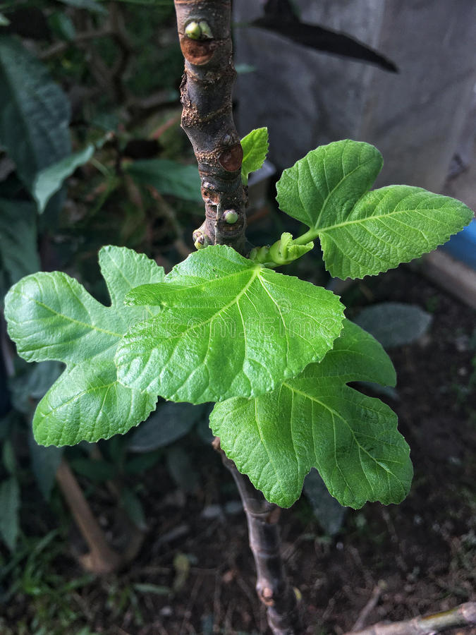 Junge Blätter der Feige stockbild