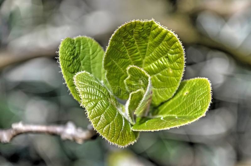 Junge Blätter eines Haselnussbaums stockfoto