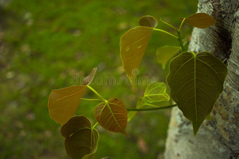 Junge Bl?tter heiliger Feigenbaum Klasse Ficus stockfoto