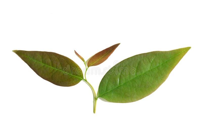 Junge Blätter Schließen Sie herauf die grünen Sternstachelbeerblätter, die auf w lokalisiert werden stockfotografie