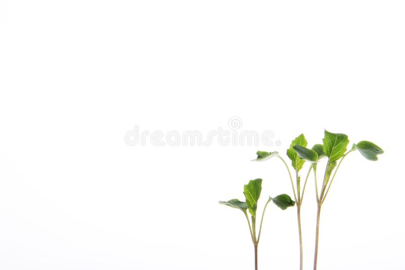 Junge Blumenkohlanlagen auf weißem Hintergrund lizenzfreie stockbilder