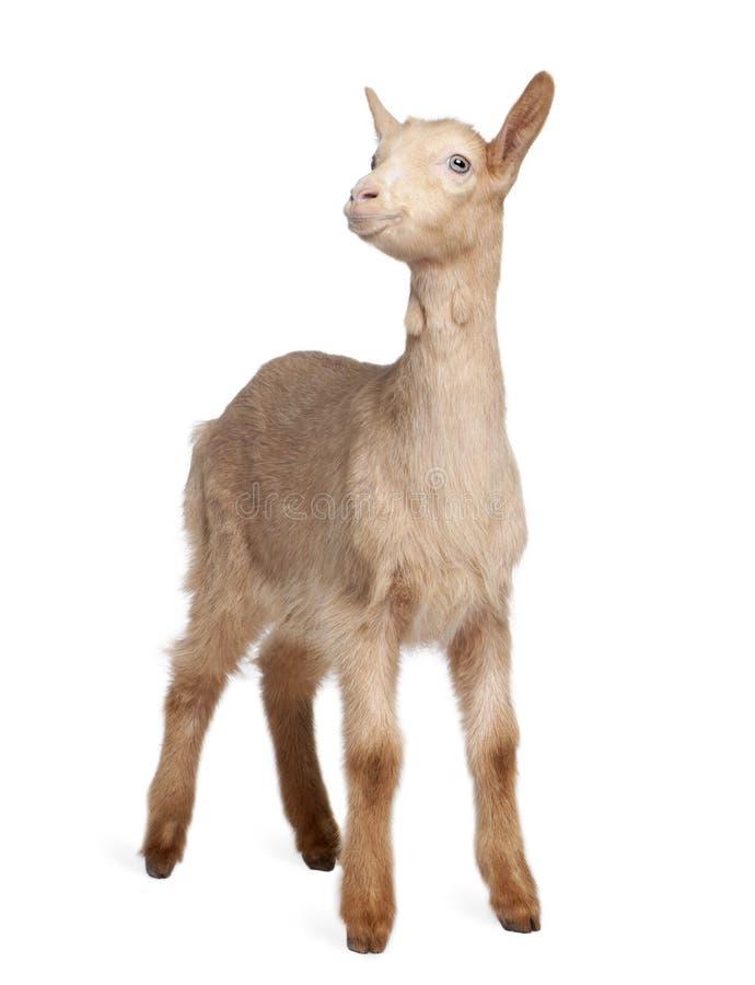 Download Junge Braune Ziege (2 Monate Alte) Stockbild - Bild von frontseite, hintergrund: 9085651