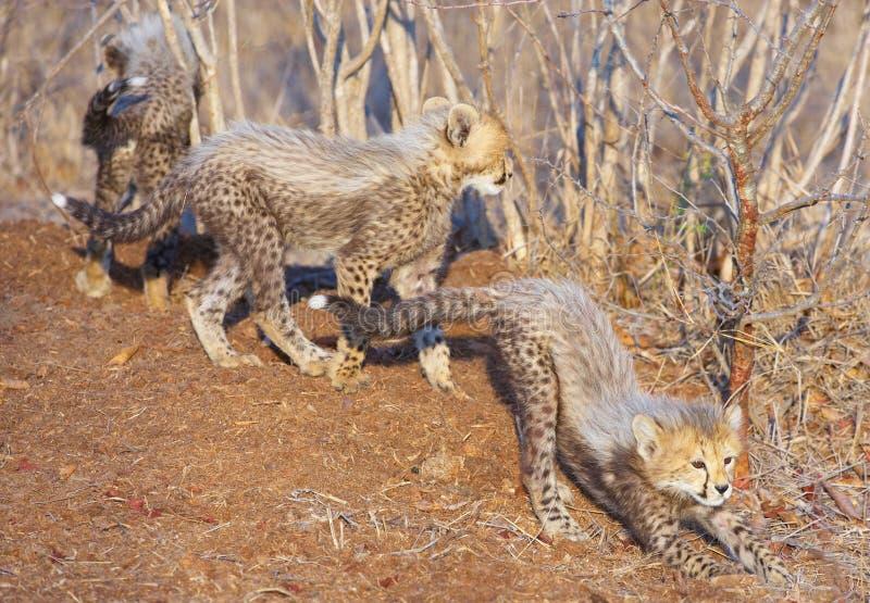Junge des Geparden (Acinonyx jubatus) lizenzfreies stockbild