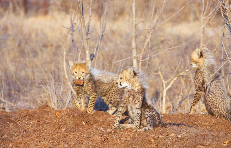 Junge des Geparden (Acinonyx jubatus) lizenzfreie stockfotografie