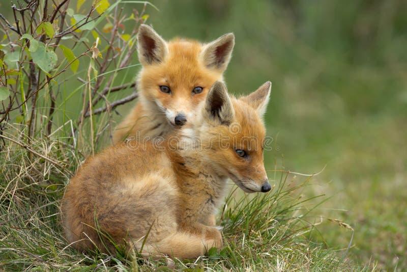 Junge des roten Fuchses stockbild