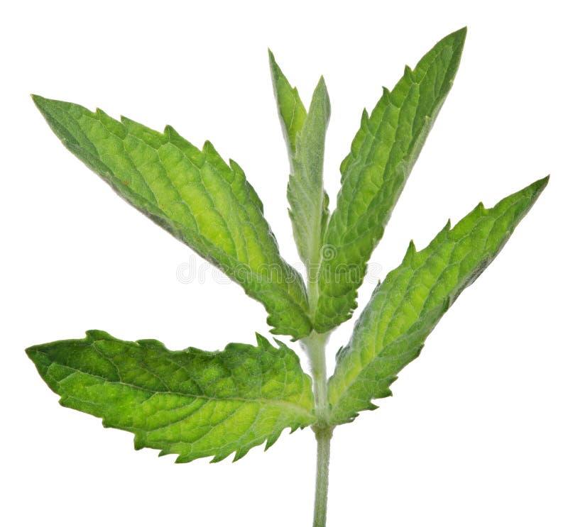Junge dunkelgrüne sechs Blätter prägen Niederlassung lizenzfreie stockbilder