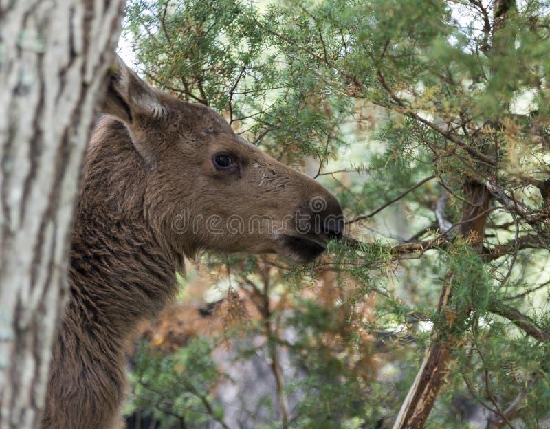 Junge Elche in Norwegen lizenzfreies stockfoto