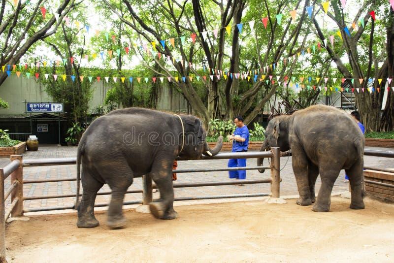 Junge Elefanten, welche die Reisendleute einziehen am samphran Elefantboden u. -Zoo in Nakhon Phatom, Thailand stehen und warten stockfotografie