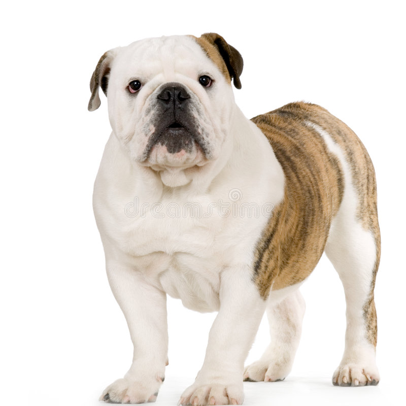 Junge englische Bulldogge stockbild