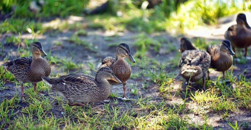 Junge Ente auf Gras lizenzfreie stockfotos