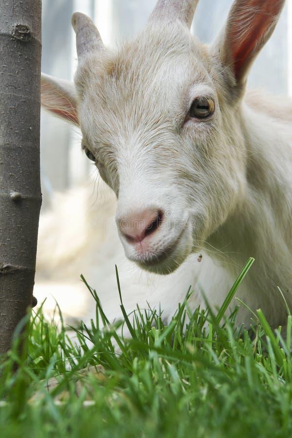 Junge entzückende weiße Ziege auf grünem Wiesenhintergrund stockfotografie