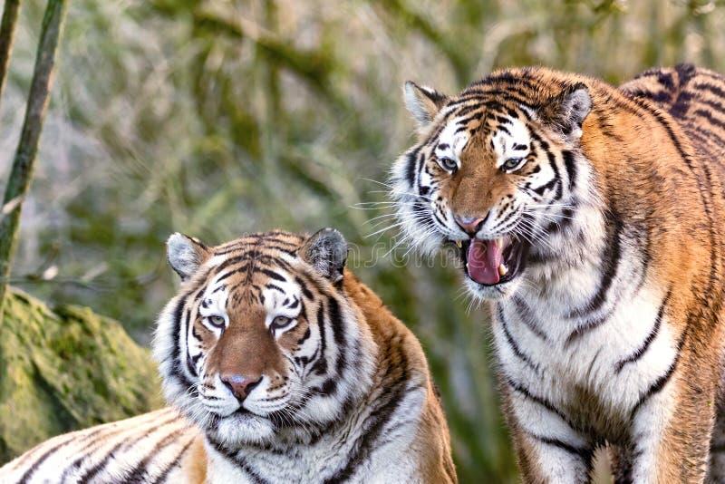 Junge erwachsene Brüder des sibirischen Tigers stockbild
