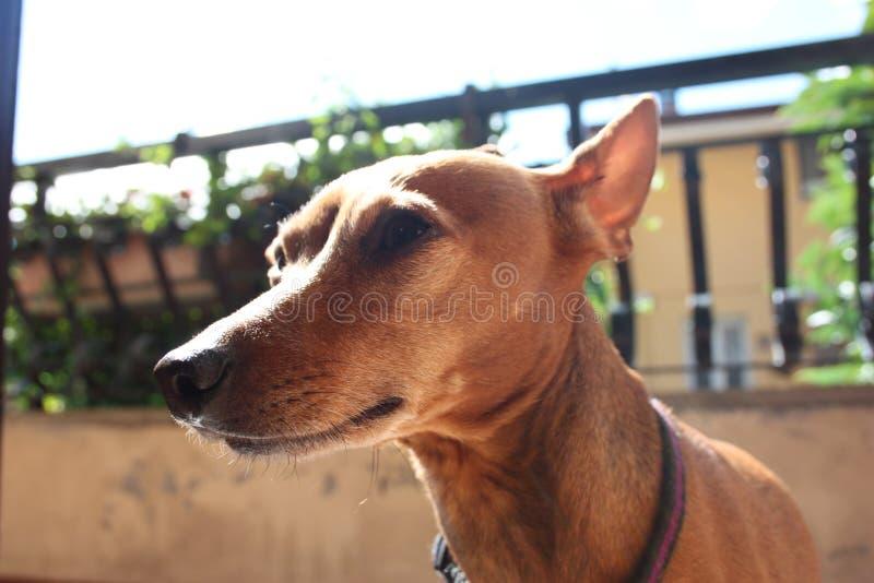 Junge Exemplarhündchen †‹â€ ‹Zucht Haustier in der Terrasse des Hauses, in dem er stolzes lebt weiblicher zwerg Pinscher rot od lizenzfreie stockfotografie