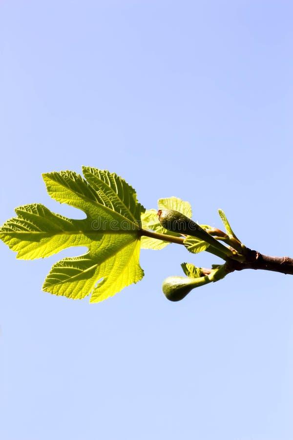 Junge Feigenbaum-Blätter und Früchte lizenzfreie stockfotos