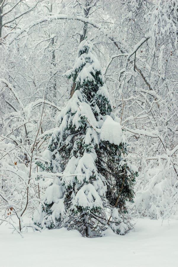 Junge Fichte im Winterwald stockfoto