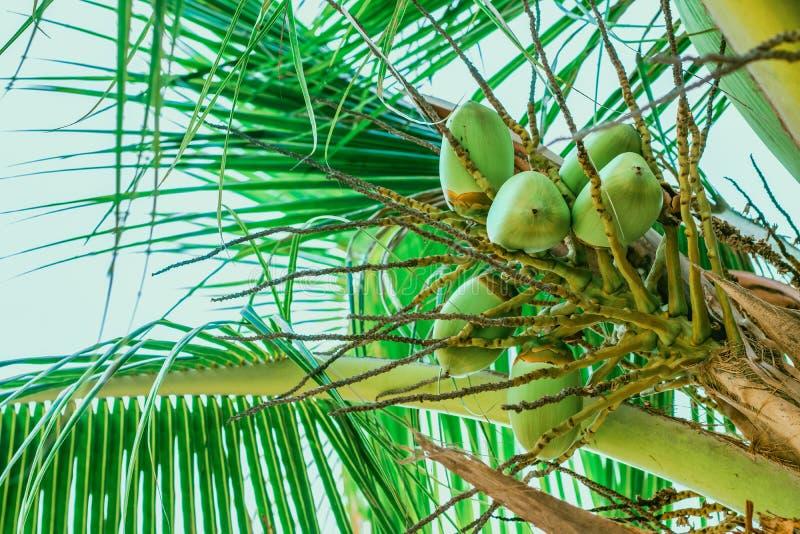 Junge Früchte der Kokosnuss auf Palme stockfotografie