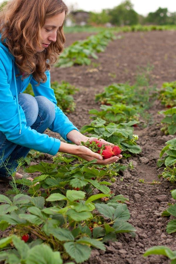 Junge Frau auf dem Ernten der Erdbeeren stockfotos